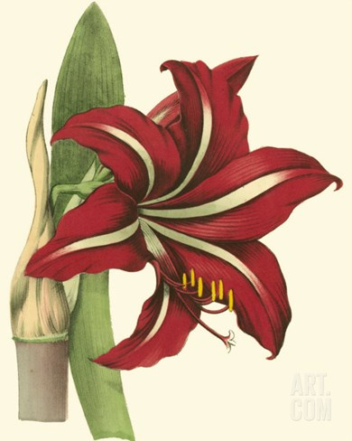 Amaryllis I Stretched Canvas Print