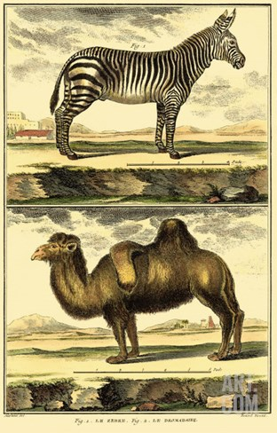 Diderot's Zebra and Camel Stretched Canvas Print