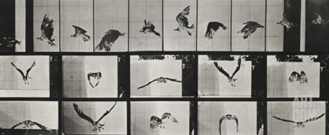 "Album sur la décomposition du mouvement ( ""Animal locomotion"", 1872/1885). Un faucon volant Stretched Canvas Print"