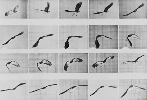 Album sur la décomposition du mouvement: Animal Locomotion: :perroquet volant Stretched Canvas Print