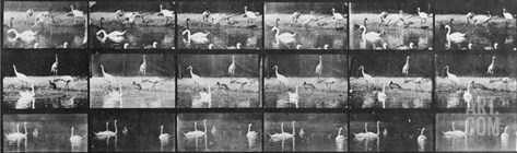 Album sur la décomposition du mouvement:Animal Locomotion/cygnes et flamands Stretched Canvas Print