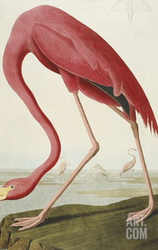 American Flamingo, from 'The Birds of America' Stretched Canvas Print