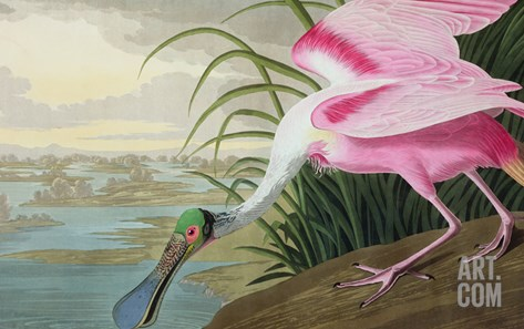Roseate Spoonbill, Platalea Leucorodia, from 'The Birds of America', 1836 Stretched Canvas Print