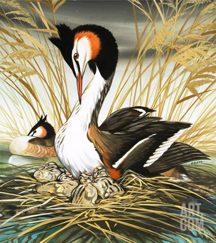 Great Crested Grebe, Illustration from 'Once Upon a Time' Stretched Canvas Print