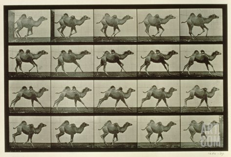 Camel, Plate from 'Animal Locomotion', 1887 Stretched Canvas Print