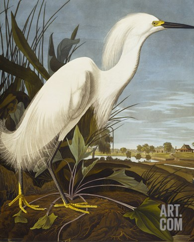 Snowy Heron or White Egret / Snowy Egret Stretched Canvas Print