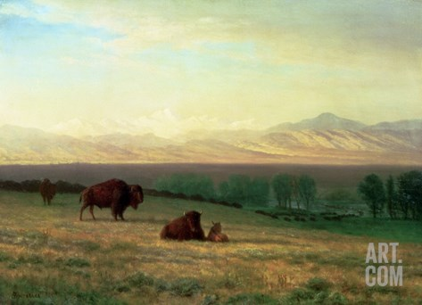 Buffalo on the Plains, C.1890 Stretched Canvas Print