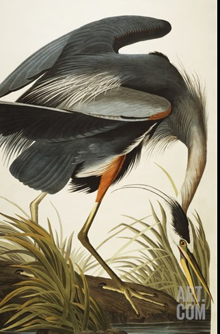Great Blue Heron Stretched Canvas Print