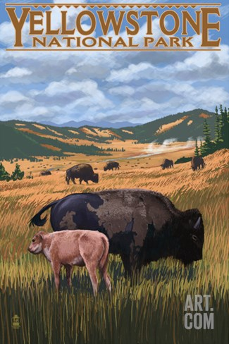 Bison and Calf Grazing - Yellowstone National Park Stretched Canvas Print
