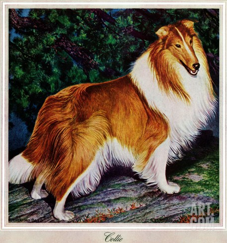"""Collie,"" September 11, 1943 Stretched Canvas Print"
