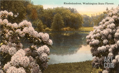Rhododendron, State Flower of Washington Stretched Canvas Print