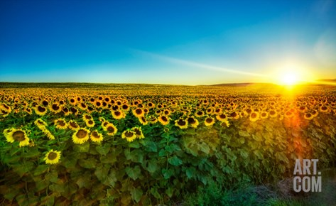 Sunflowers at Sunset Stretched Canvas Print