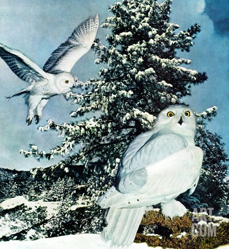 """""""Snowy Owls"""", September 14, 1957 Stretched Canvas Print"""