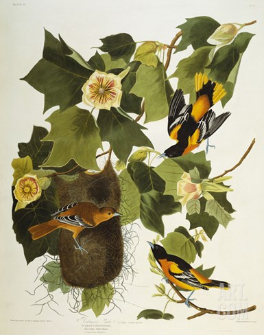 Baltimore Oriole. Northern Oriole (Icterus Galula), from 'The Birds of America' Stretched Canvas Print