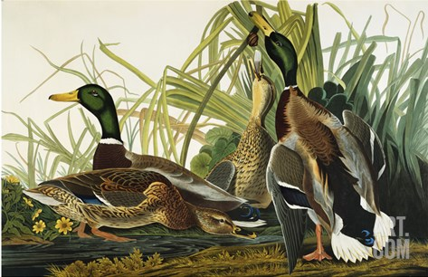 Mallard Duck. Mallard (Anas Platyrhynchos), Plate Ccxxi, from 'The Birds of America' Stretched Canvas Print