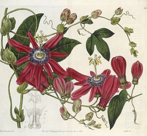 Passionflower, from 'The Botanical Register' Stretched Canvas Print