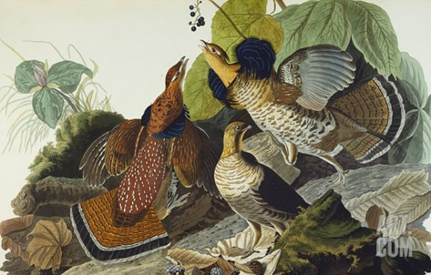 Ruffed Grouse (Tetrao Umbellus), Plate Xli, from 'The Birds of America' Stretched Canvas Print