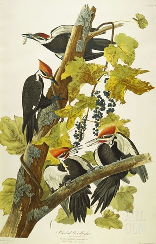 Pileated Woodpecker (Dryocopus Pileatus), Plate Cxi, from 'The Birds of America' Stretched Canvas Print