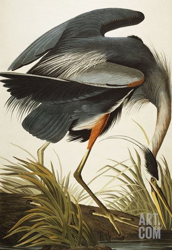 Great Blue Heron (Ardea Herodias), Plate Ccxi, from 'The Birds of America' Stretched Canvas Print