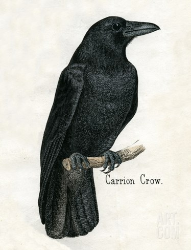 Carrion Crow Stretched Canvas Print