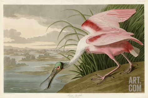 Roseate Spoonbill Stretched Canvas Print