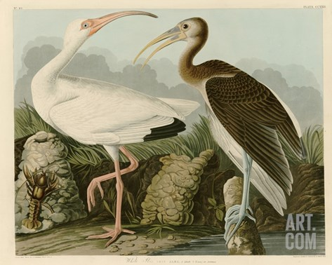 White Ibis Stretched Canvas Print