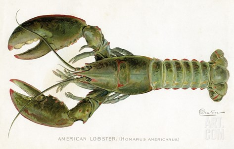 American Lobster (Homarus Americanus Stretched Canvas Print