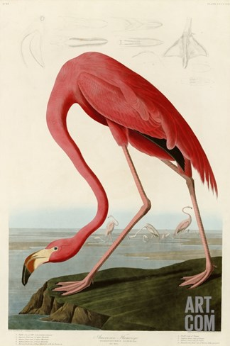 American Flamingo Stretched Canvas Print