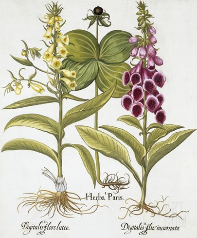 Herb Paris, Common Foxglove and Large Yellow Foxglove Stretched Canvas Print
