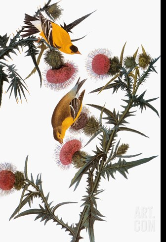 Audubon: Goldfinch Stretched Canvas Print