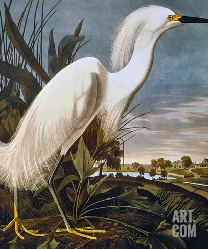 Audubon: Egret Stretched Canvas Print