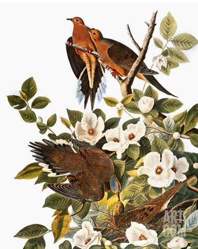 Audubon: Dove Stretched Canvas Print