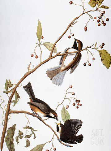 Audubon: Chickadee Stretched Canvas Print