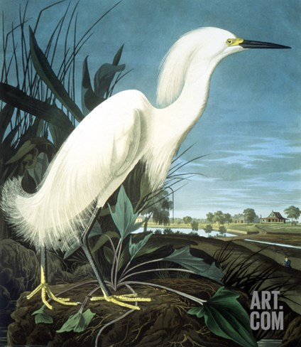 Snowy Heron Stretched Canvas Print