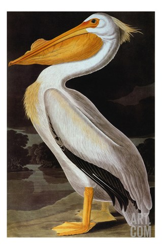 Audubon: Pelican Stretched Canvas Print