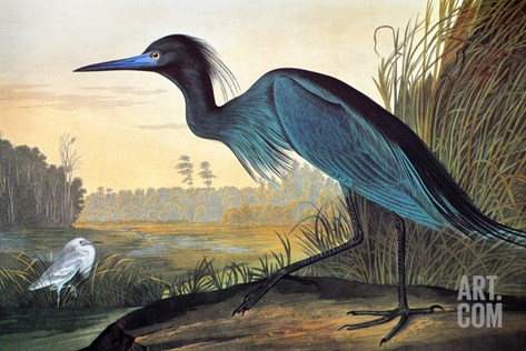 Audubon: Little Blue Heron Stretched Canvas Print