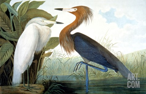 Reddish Egret, Stretched Canvas Print