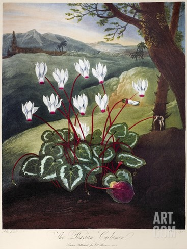 Thornton: Cyclamen Stretched Canvas Print