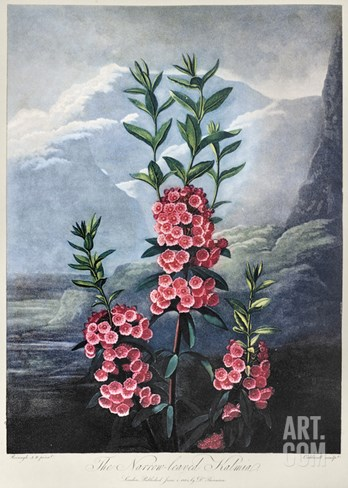 Thornton: Kalmia Stretched Canvas Print