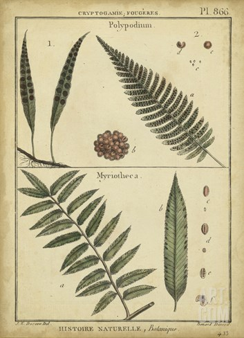Diderot Antique Ferns III Stretched Canvas Print