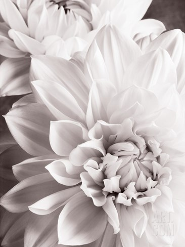 Black and White Dahlias II Stretched Canvas Print