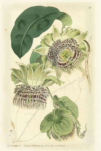 Antique Passionflower II Stretched Canvas Print
