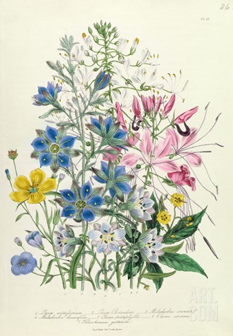 Cornflower, Plate 15 from 'The Ladies' Flower Garden', Published 1842 (Colour Litho) Stretched Canvas Print