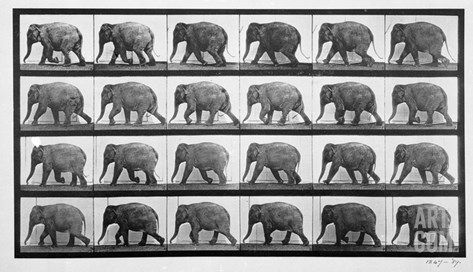 Elephant Walking, Plate 733 from 'Animal Locomotion', 1887 (B/W Photo) Stretched Canvas Print