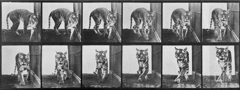 Tiger Pacing, from 'Animal Locomotion', 1887 (B/W Photo) Stretched Canvas Print
