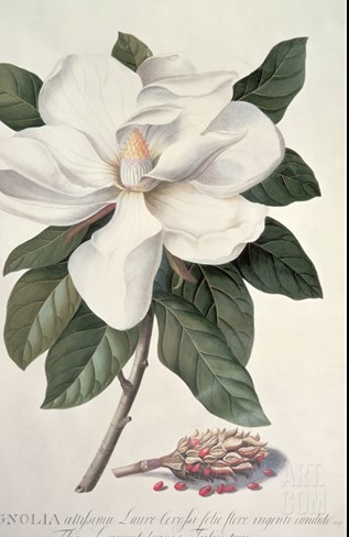 Magnolia Stretched Canvas Print