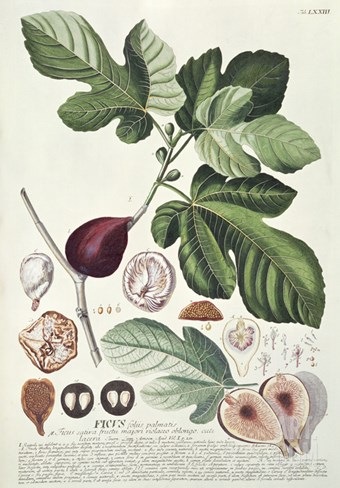Ficus (Fig) (Coloured Engraving) Stretched Canvas Print