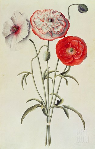 Poppies: Corn (Papaver Rhoeas) Stretched Canvas Print