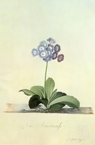 Fille Amoureuse (Blue Auricula) Stretched Canvas Print