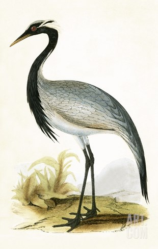 Numidian Crane,  from 'A History of the Birds of Europe Not Observed in the British Isles' Stretched Canvas Print